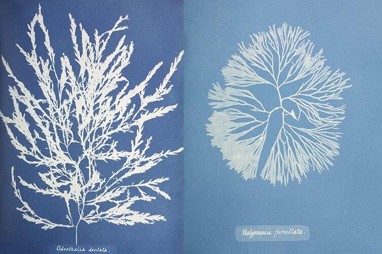 totenart-cianotipia-textil-anna-atkins